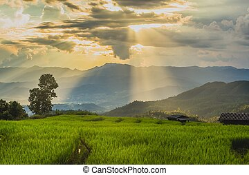 green rice field with sunlight