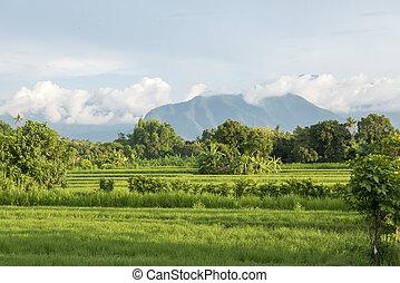 Green rice fields in Lovina on Bali island with volcano,...