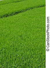 Green rice fields. This the seeds of rice plants before being move to the the real planting zone. This picture taken in West JAva, Indonesia.
