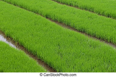Green rice fields. This where the of rice plants are grow from seeds before being move to the the real planting zone when the age is right. This picture taken in West JAva, Indonesia.
