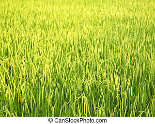 Green rice in fields