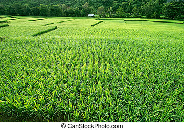 Green rice in paddy fields