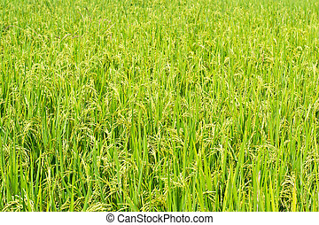 Green rice in the field rice background