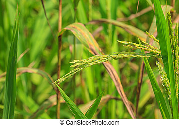Green rice in the field