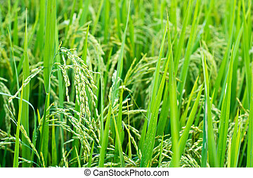 Green rice in the field rice backgr