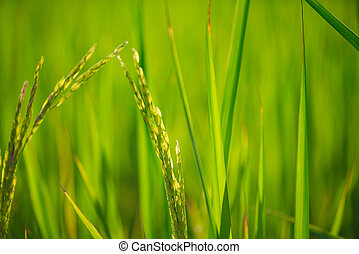 Green rice leaf on sunrise background