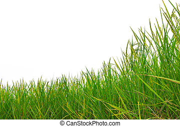 green rice paddy on a white background