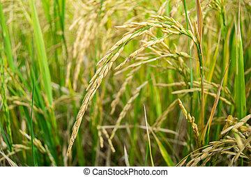 Green rice plant.