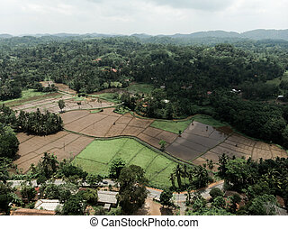 Green rice plantation field with sunset light aerial view agricultural industry