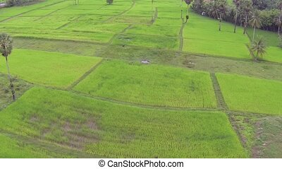 Green rice plantation in Thailand, aerial video clip