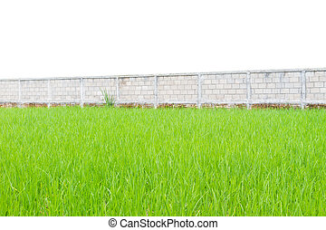 Green rice plants in front of wall isolated on white background, perspective
