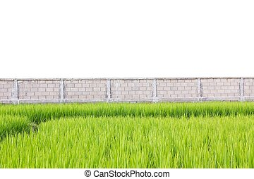 Green rice plants in front of wall isolated on white background