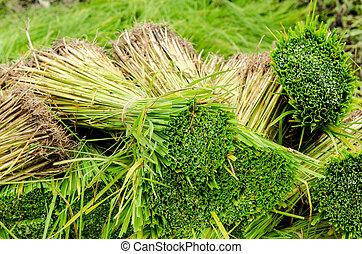 Green rice seedling