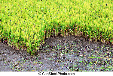 Green rice seedlings