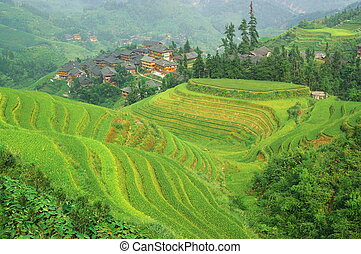 Green rice terrace in china