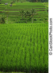 Green ricefield view in Bali