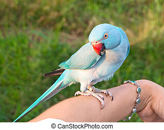Green Ringneck Parrot