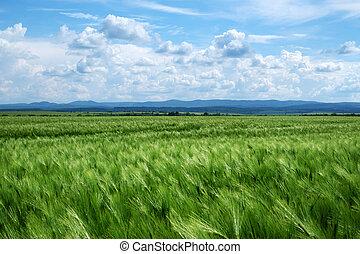 Green ripe wheat field