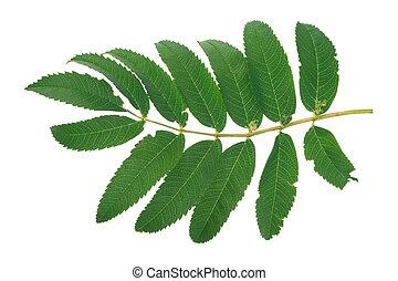 Green rowan tree leaf