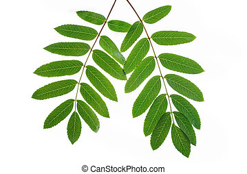 Green rowan tree leaves isolated on white background