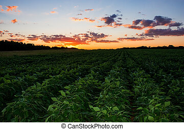 Green Rows at Sunset - A field of soybeans and a beautiful...