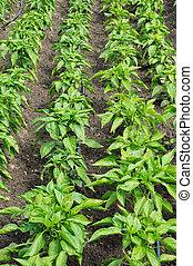 rows of pepper in a garden