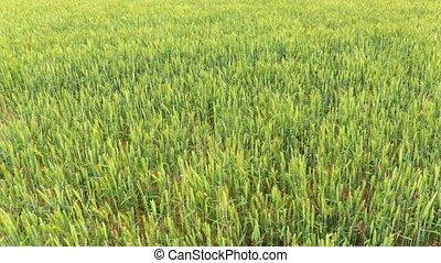 Green rye field in windy day