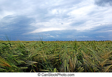 Green rye on the field before rain. Dramatic sky on background.