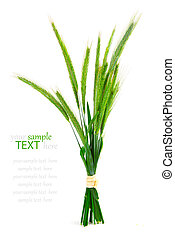Green rye spikes (Secale cereale), on white background.