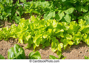 Green salad in a garden