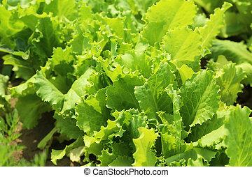 Green salad in the garden