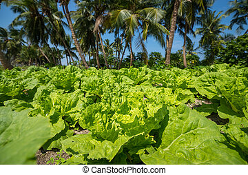Green salad leaves plantation vegetable