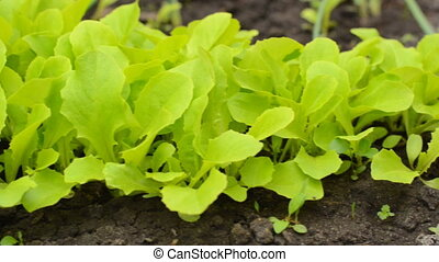 Green Salad on Farm Closeup, Motorized Dolly Shot.