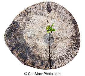 Green sapling growing from old tree stump
