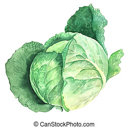 Green savoy cabbage vintage watercolor botanical illustration isolated on a white background