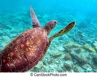 Green sea turtle above the coral reef and sea bottom. Sea turtle closeup. Green turtle swimming in turquoise sea. Exotic animal underwater. Blue lagoon wild life. Philippines snorkeling spot - Apo