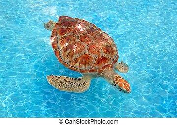 Green sea Turtle Chelonia mydas Caribbean