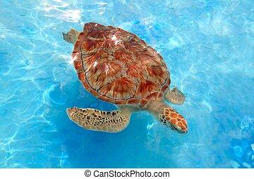 Green sea Turtle Chelonia mydas Caribbean sea Cheloniidae ...