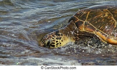 Green Sea Turtle close up. on the shore of Laniakea Beach also known as Turtle Beach on Oahu island, Hawaii, United States. Hawaiian Sea Turtle. Chelonia mydas species