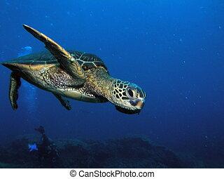Green sea turtle diving - Hawaiian green sea turtle in Maui