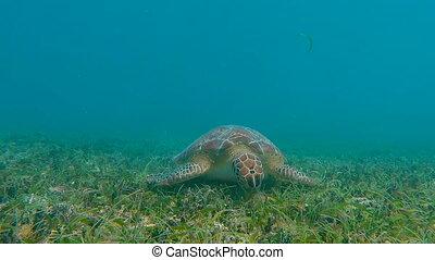 Green Sea Turtle Eating Grass