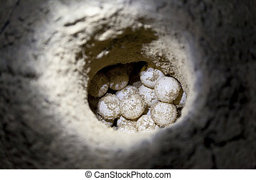 Green sea turtle eggs in sand hole on a beach at hatchery ...