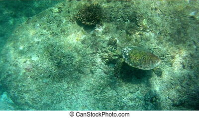 green sea turtle chelonia mydas swimming in Andaman sea, Ko similan island, Thailand