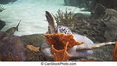 Green Sea Turtle Enjoying a Meal.