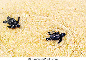 Two little adorable green sea turtle (Chelonia mydas) hatchlings are scrambling into the sea.