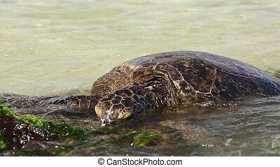 Hawaiian Sea Turtle or Green Sea Turtle rests on the shore in Laniakea Beach or Turtle Beach on Oahu island, Hawaii, United States.