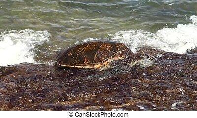Hawaiian Sea Turtle or Green Sea Turtle rests on the shore in Laniakea Beach or Turtle Beach on Oahu island, Hawaii, United States. Chelonia mydas species