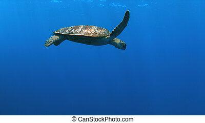 Green Sea turtle in blue water