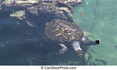 Green sea turtle in Eilat Israel