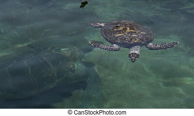 Green sea turtle in Eilat Israel